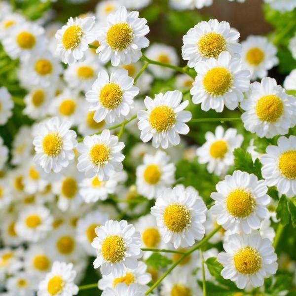 chamomile_flowers_l.jpg
